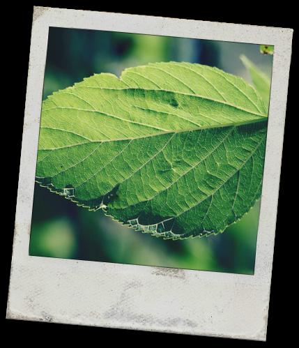 leaf snapshot
